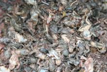Picture of mass of dead frogs due to chytridiomycosis